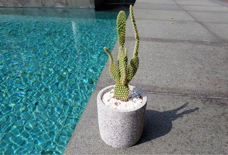 Angel Wing Cactus.