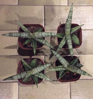 Sansevieria Boncel snake plant mother in law tongue air purifying plant
