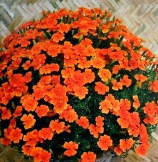 Benih French Marigold Seeds