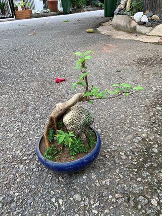 🚚 Shui mei bonsai