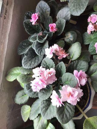 Pink violet (organic) 有機粉紅色紫羅蘭