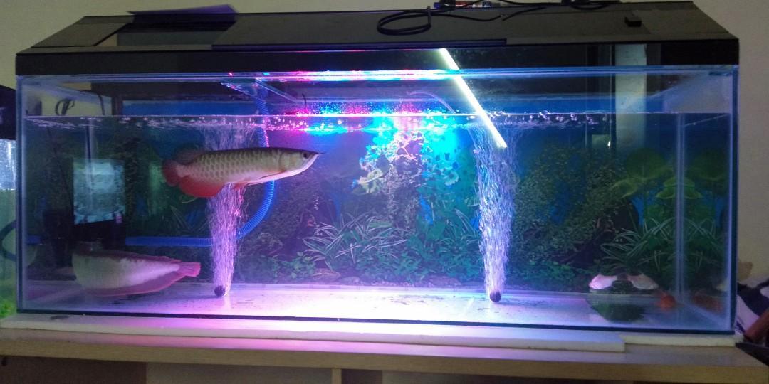 Ikan arwana GOLDEN REG RTG