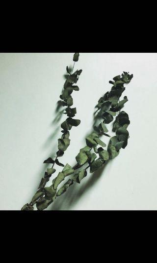乾燥花材 尤加利葉 大圓葉/小圓葉 北歐風