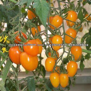 Tomatoes seeds 黄圣女番茄/大黑番茄
