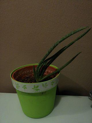 Aloe Vera Plant with Pot