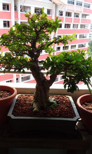 B) Bonsai Shui Mei Good Condition