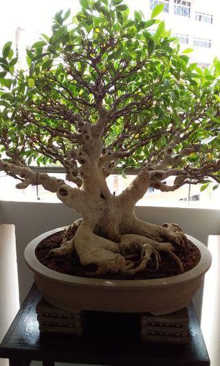 C) Bonsai Ficus Bohdi Plant Good Condition