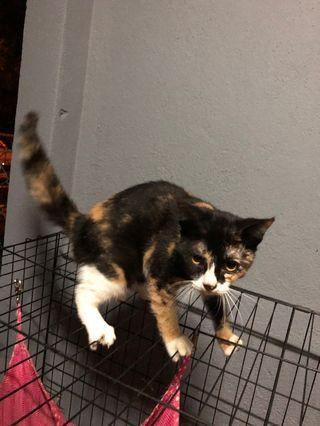 Domestic short hair (calico)
