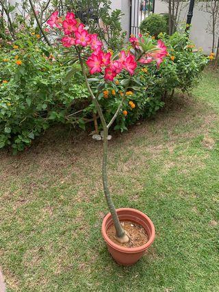 Desert rose / adenium plant