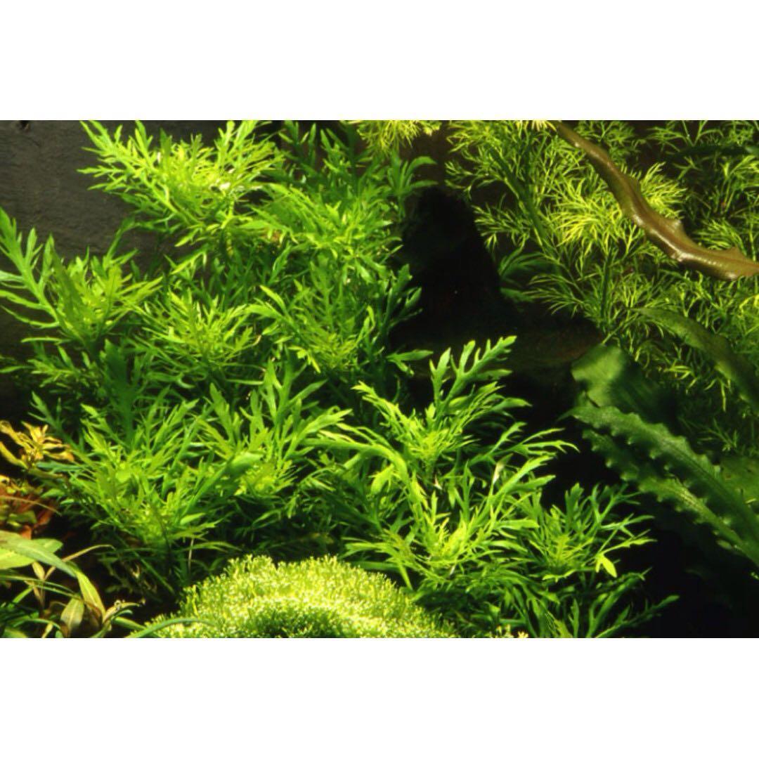 Aquatic Plant - Hygrophila Difformis