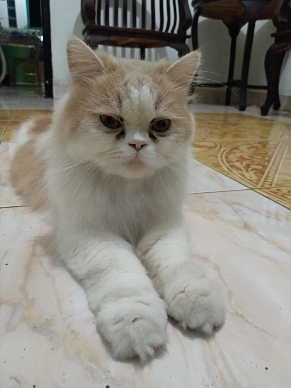 Over adop Kucing Persia betina