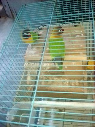 Lovebird Sepasang Fullshet