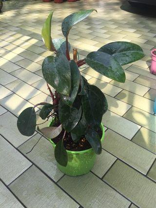 Philodendron mini red dwarf red stem red roots leaves beneath red