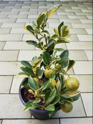 Lime Variegated plant