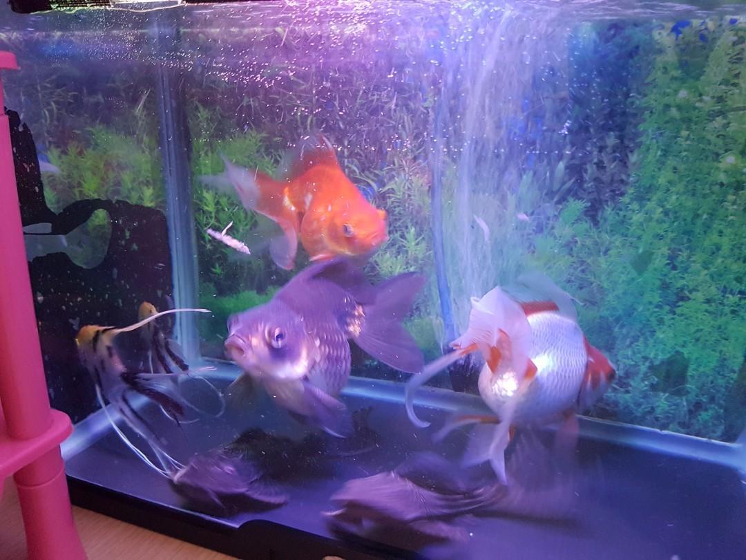 Aquarium 3 Ikan Mas Koki 2 Manfish 2 Sapu Sapu Pet