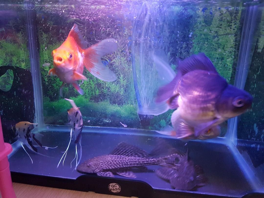 Aquarium + 3 ikan mas koki + 2 manfish + 2 sapu sapu