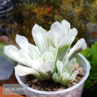 Haworthia Cooperi var pilifera Silver Swirl Succulents ( with pup )