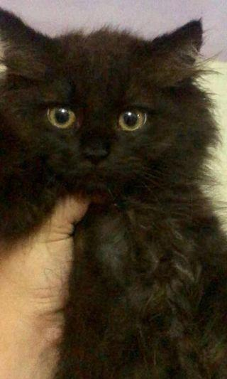 Adopt kitten maincone mix anggora