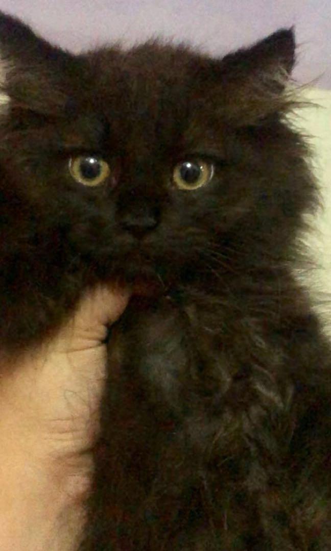 Adopt kitten maincone mix anggora