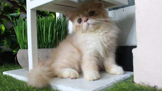 Kucing/Kitten Persia Flatnose