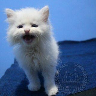 Kucing/Kitten Persia Medium