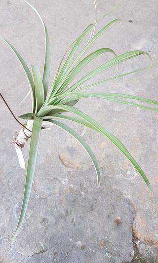 Airplant tillandsia smalliana