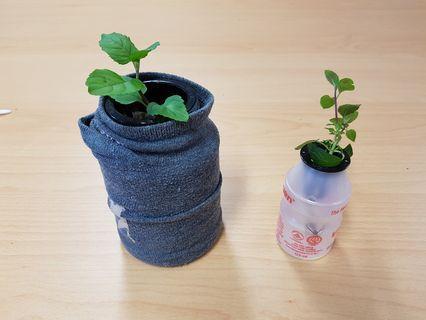 Kratky Mint set (edc & choc mints + 50ml hydro solution)
