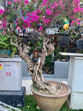 🚚 Selling a very beautiful mature and large bougainvillea