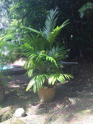 4 large palms and plant in pots and baskets