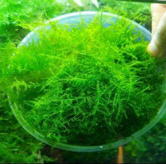 ( Christmas Moss is Not ) Anchor Moss Loose Form + Patch in Cup (ONLY 1 CUP UP FPR SUPER SALES,  GRAB FAST ) 1st Come 1st Serve