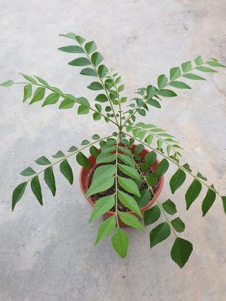Curry leaves 咖喱叶