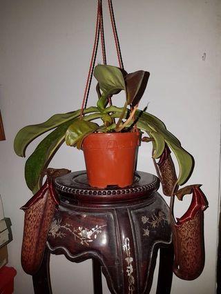 Pitcher plant nepenthes miranda