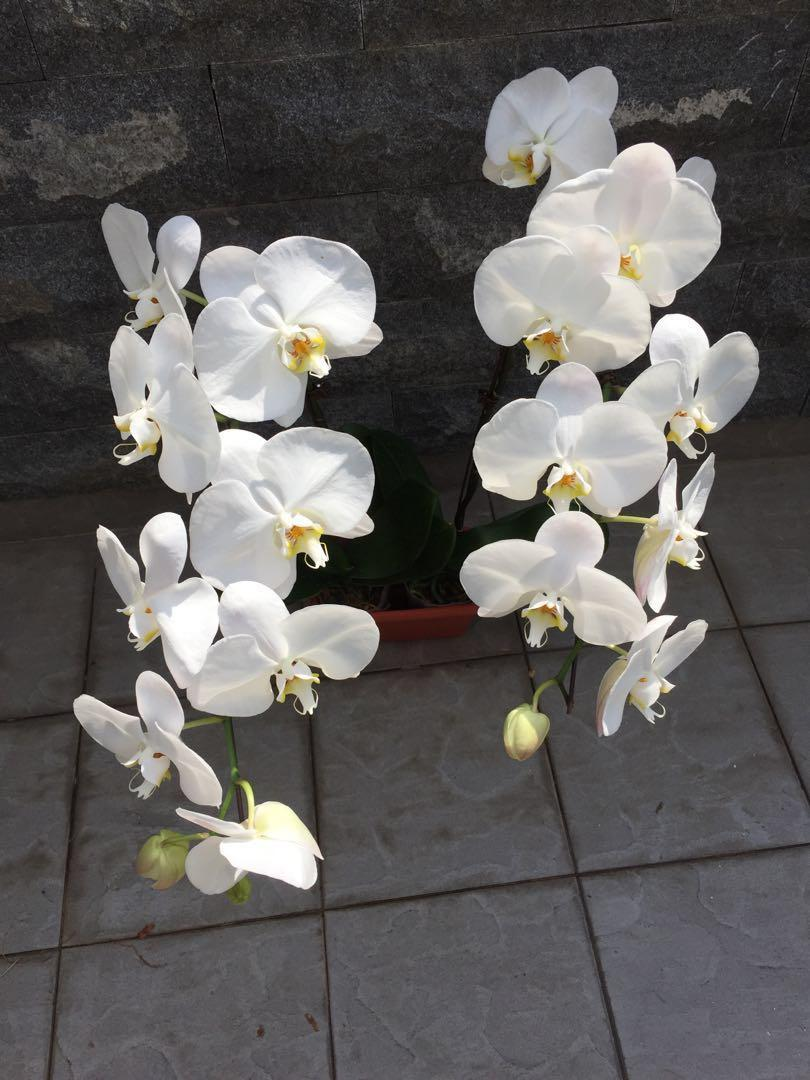 2 pots of white Phalaenopsis