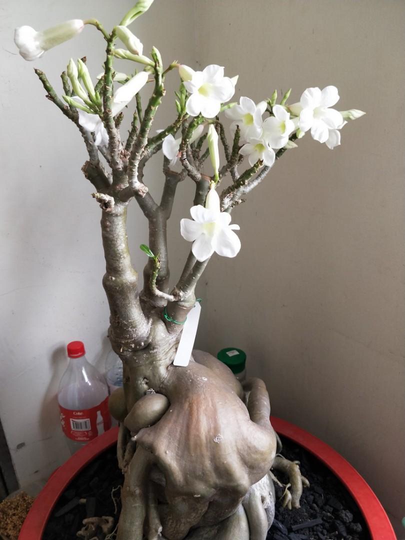 Elegant Sculpture shape Adenium Arabicum plant c/w with pot