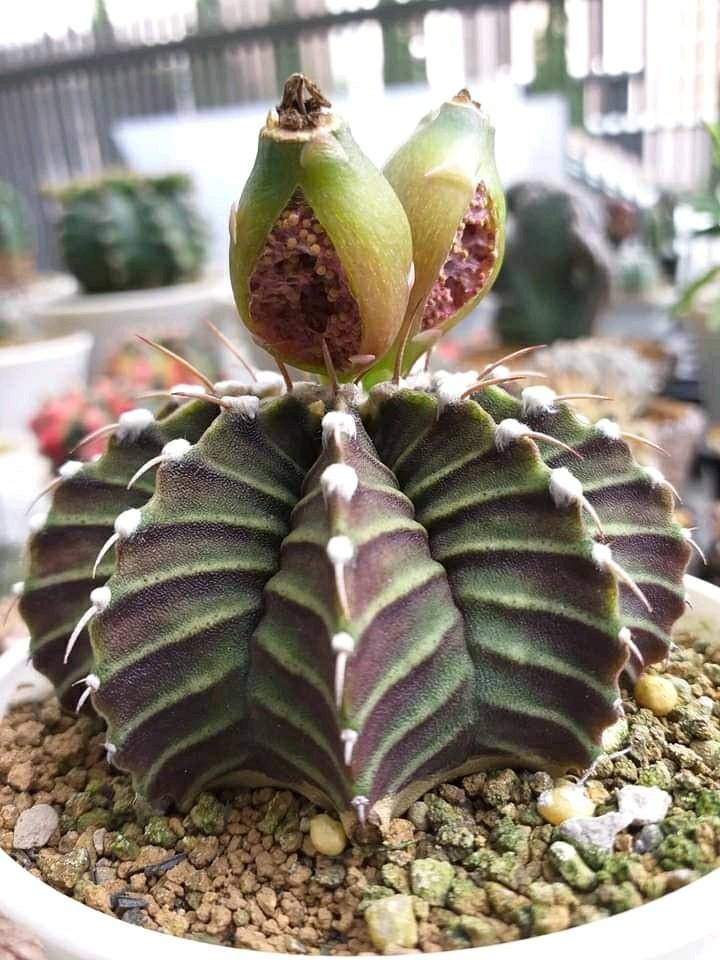 Biji Kaktus LbVar
