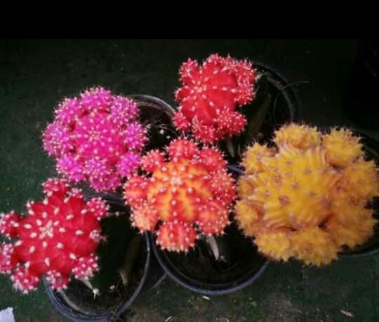 Paket Kaktus Warna Gymno isi 5 jenis