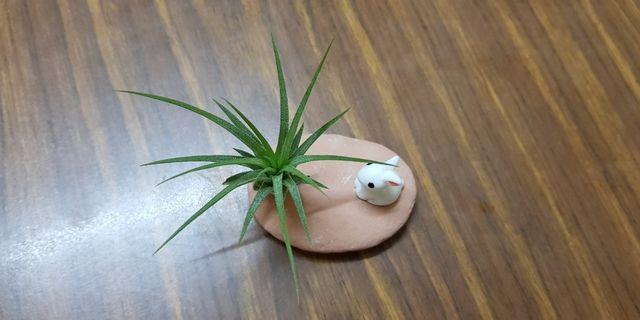 Air Plant, gift, desktop plant,indoor decoration,mini bonsai,