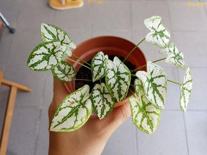 Plant in 10cm pot