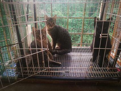 Kucing untuk dipelihara (free)