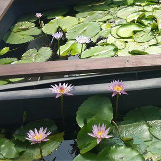 Tablet fertilizer for water lily