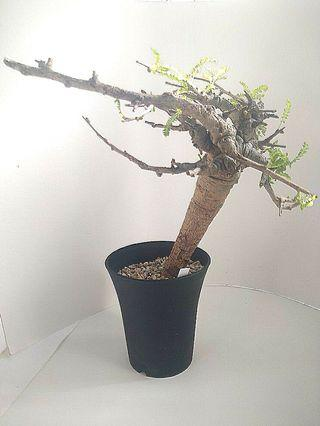 Boswellia neglecta 尼哥乳香 塊根植物 非洲原生入口 多肉植物仙人掌
