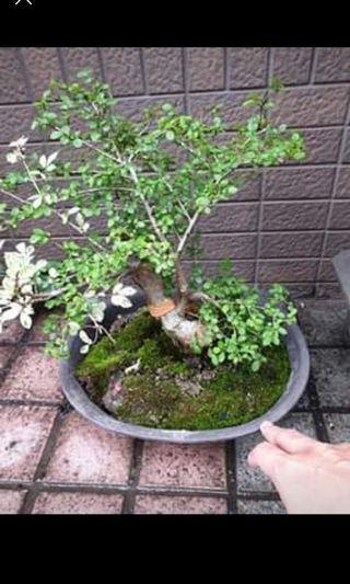 🚚 雞油木盆栽