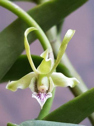 Dendrobium strebloceras | Unique healthy orchid