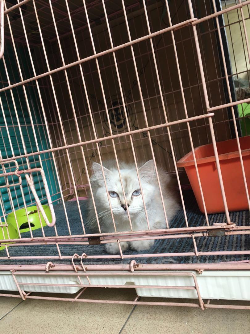 Unduh 95+  Gambar Sisir Kucing Anggora Paling Imut
