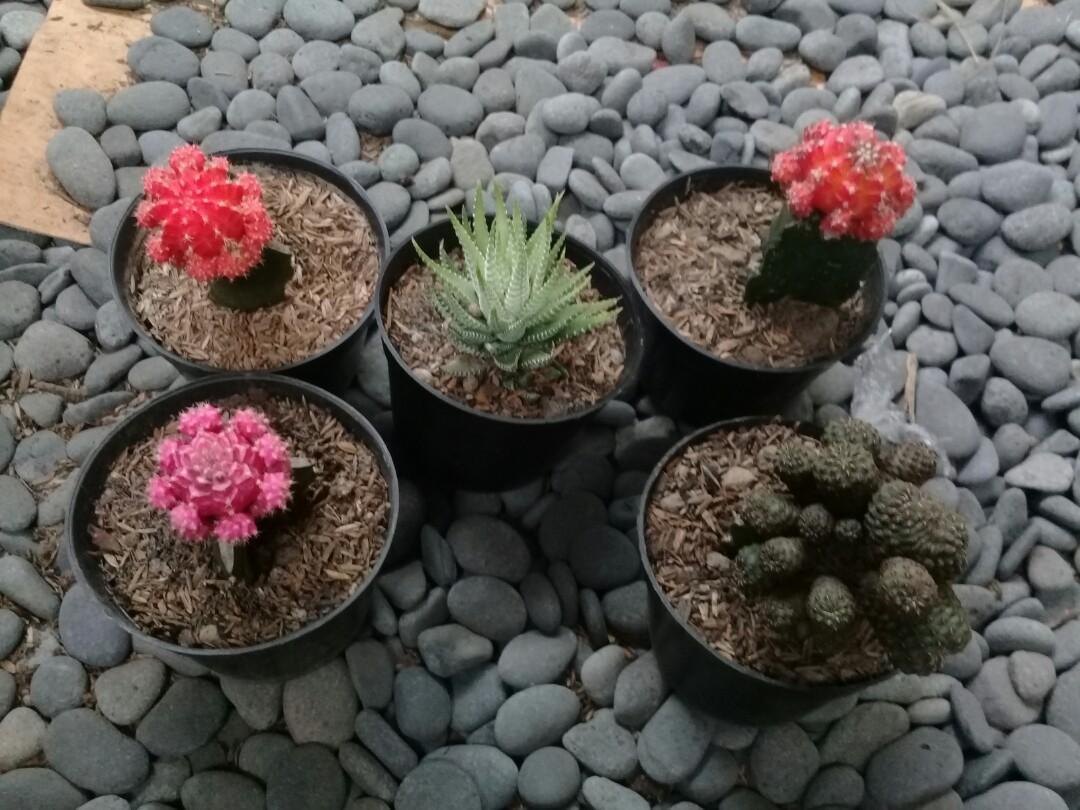 Kaktus isi 5 jenis berbeda murah