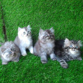 Jual kucing berbagai macam..lengkap