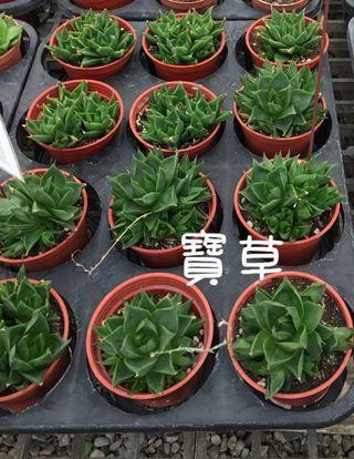 多肉植物寶草