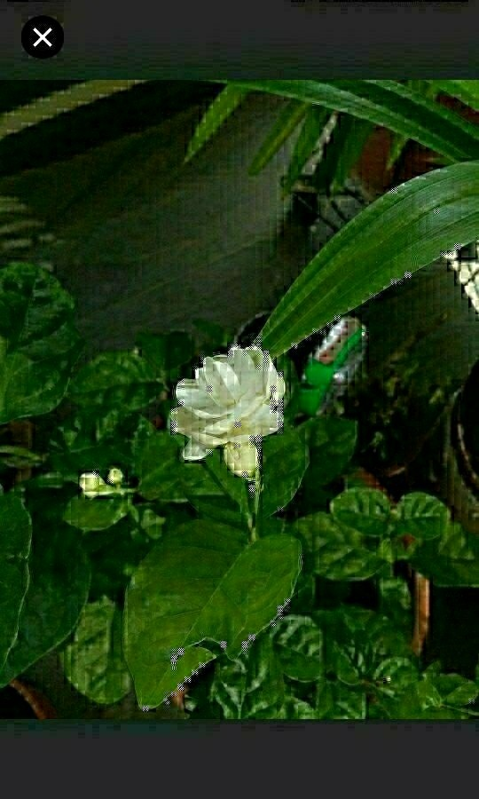 Jasmine is characterised by its very fragrant smell, especialy at night
