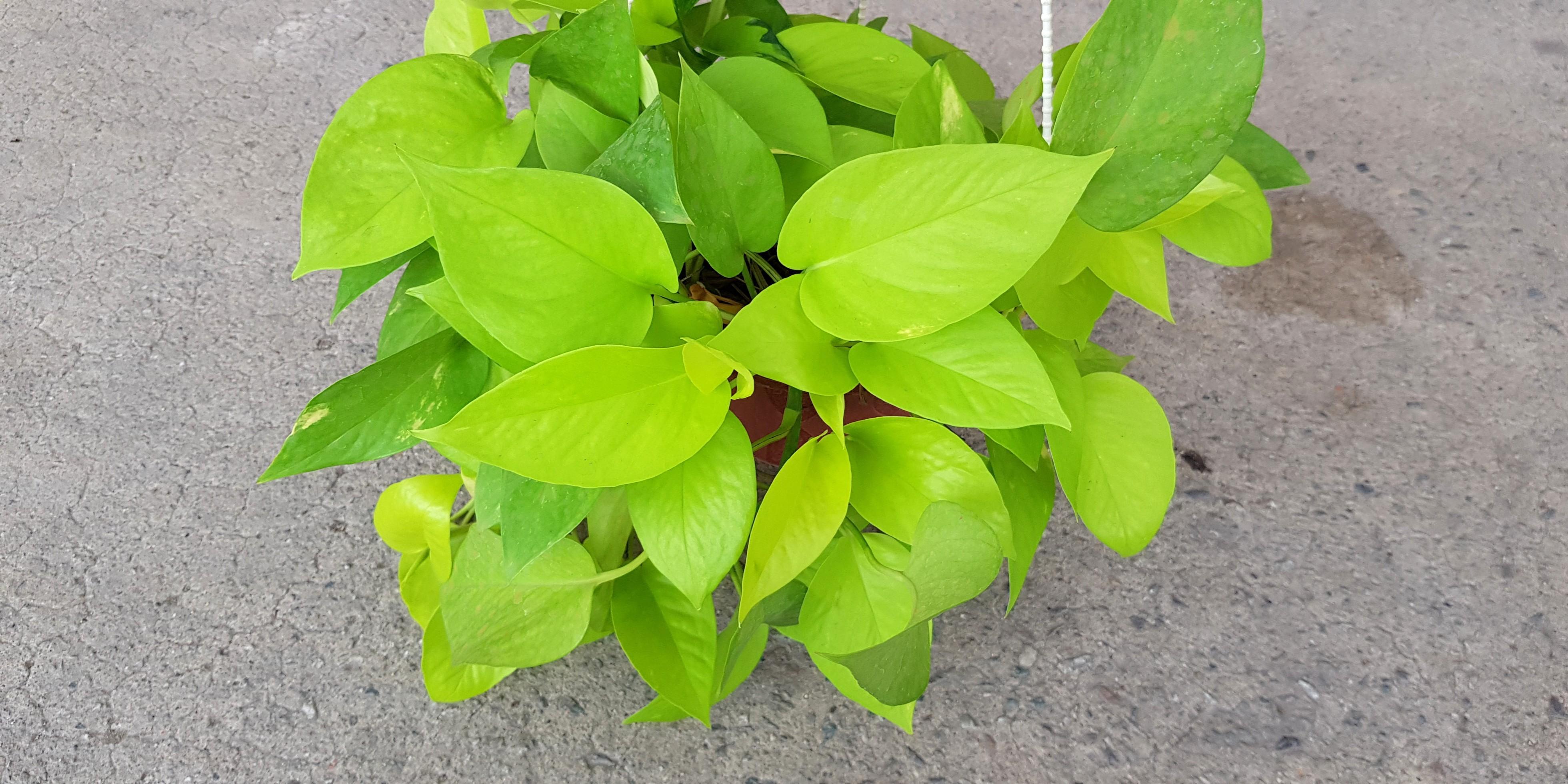 Plant Golden Pothos Golden Money Plant 8 90 10 90 16 90 Gardening Plants On Carousell