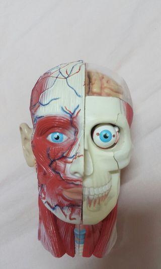 生物科 頭骨模型 人腦模型